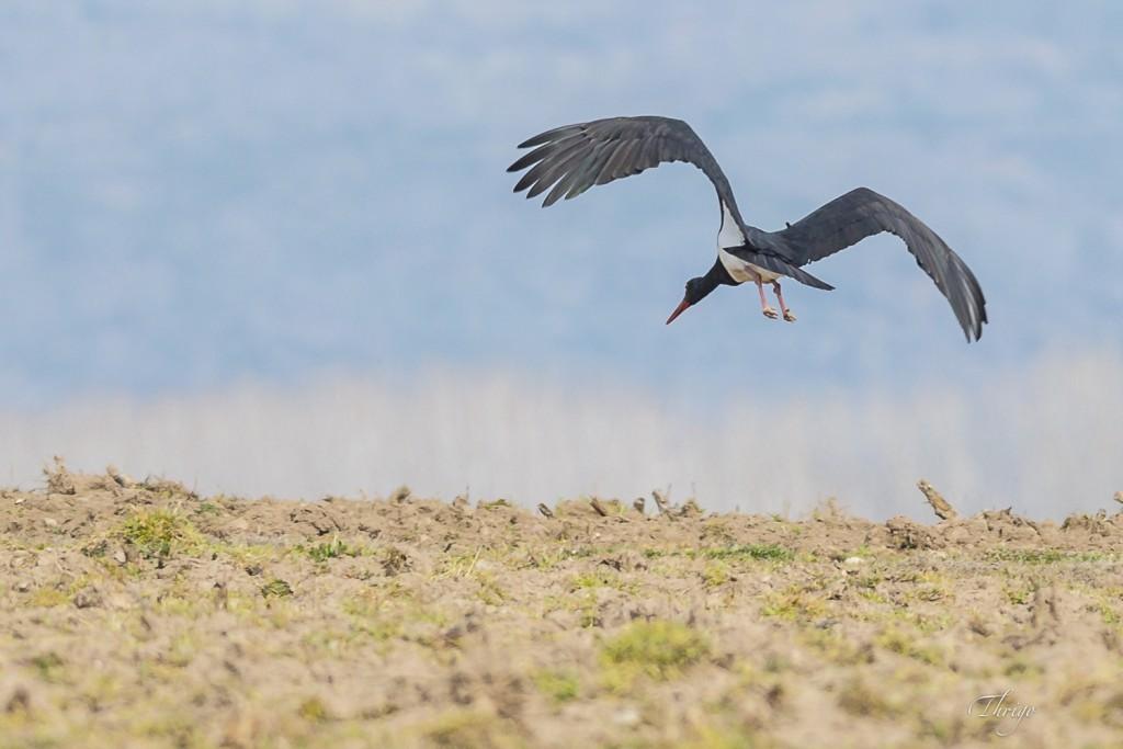Cigüeña negra recién levantado el vuelo (postura 2) por Thrigo