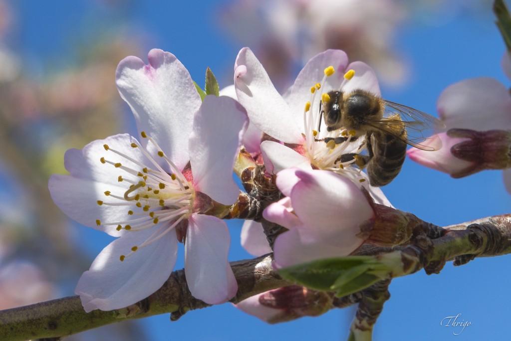 Abeja faenando en flor de almendro, por Thrigo